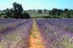 Lavender field in Gard, France