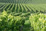 Vineyard in the Burgundy region in France